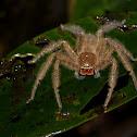 David Bowie Huntsman Spider