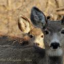 (Female) Mule Deer