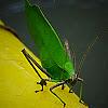 Green Katydid.