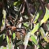 Common Assassin Bug (4th instar)