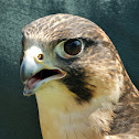 Falcon (hybrid)