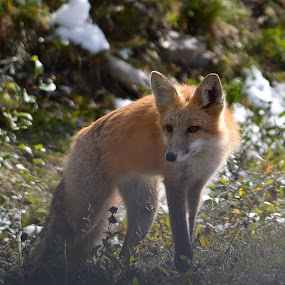 Hunting. by Sylvie Berube Tenniscoe - Animals Other Mammals ( fox, nature, outdoors, cute, animal,  )