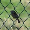 Streaked Fantail Warbler