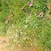 Eurasian Tree Sparrow