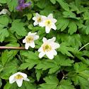 Geissenblümchen, Buschwindröschen (Wood Anemone)