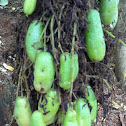 Bilimbi / Cucumber tree