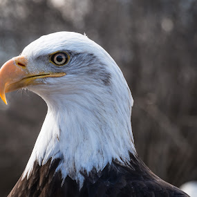 Bald Eagle by Donna Brittain - Animals Birds ( bird, canada, nature, bald eagle, grimsby, ontario, eyes,  )