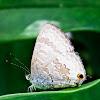 Wattle Blue Butterfly