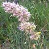 Grass (Trava)