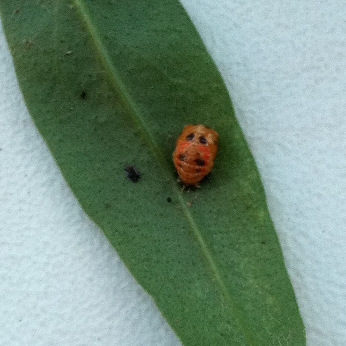 Pupal Multicolored Asian Lady Beetle