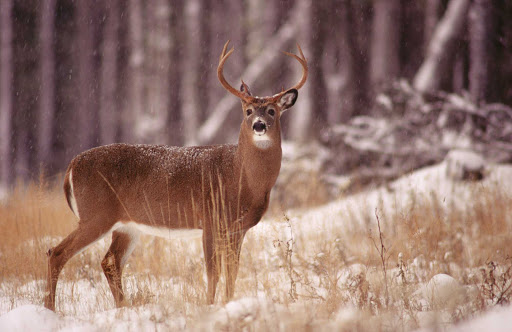 deer-snow-Quebec - A white-tailed deer in an early snow in  Duplessis (Cote-Nord), Quebec.