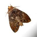 Lappet Moth?