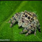 Regal Jumping Spider (female)