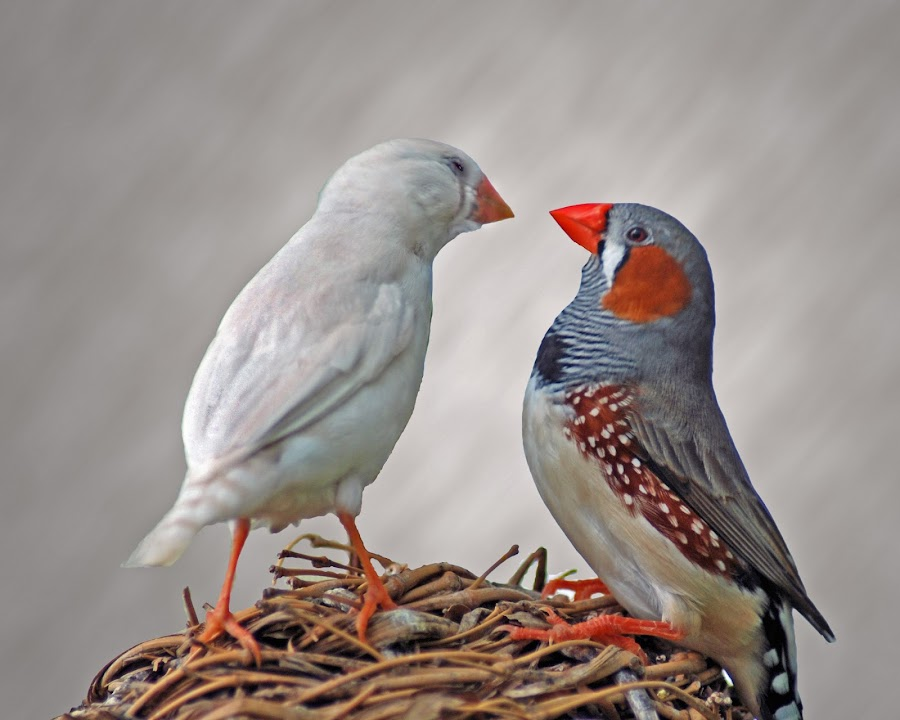 Zebra Finches by Diane Bell - Animals Birds ( finches, birds )