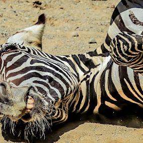 by Elizabeth Flamion - Animals Other Mammals ( happy, back scratch, zebra, stripes )
