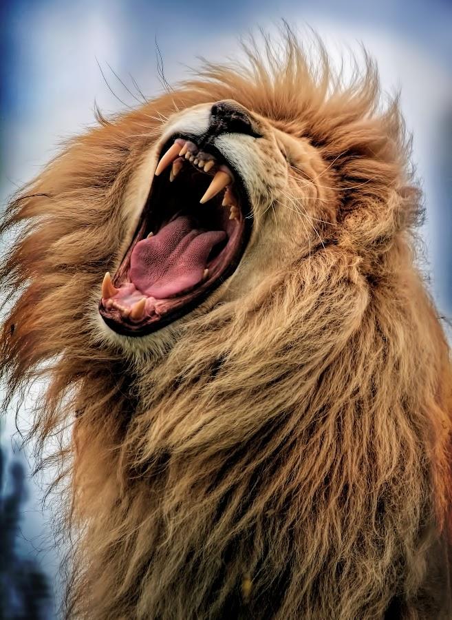 roar! by Zoe Walker Designs - Animals Lions, Tigers & Big Cats ( portraiture, lion, nature, zoo, animal,  )