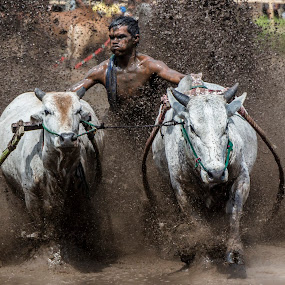 Pacu Jawi by Teddy Winanda - News & Events Sports ( minangkabau, indonesia, racing cows, pacu jawi, west sumatera )