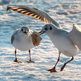 by Dana Corina Popescu - Animals Birds (  )