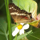 Banded peacock Butterfly on Bidens pilosa