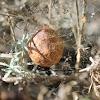 Argiope egg sac