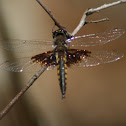 Mantled Baskettail Dragonfly