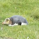 yellow eyed-penguin (hoiho)