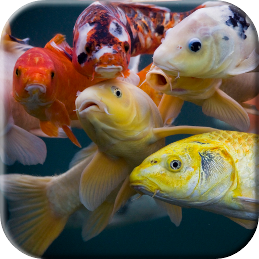 Koi Video Live Wallpaper Apps On Google Play