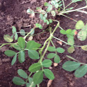 Peanat  plant