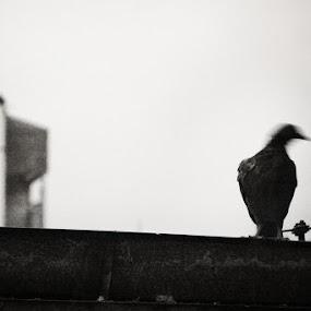 Fear by Goran Popović - Animals Birds ( canon, bird, street, bw, motion, fear )
