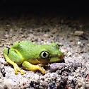 Seychelles Tree Frog