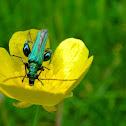 Flower beetles