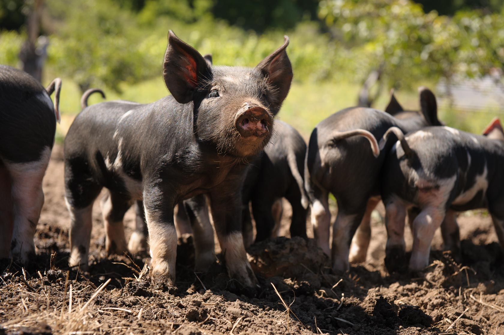 Piglets , California