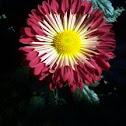 Spoon Chrysanthemum