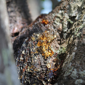 Tree sap by Anita Elers-Cooper - Nature Up Close Trees & Bushes