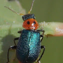 Two-spotted Melyrid Beetle