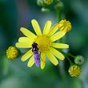 Hover Fly / Flower Fly/ Soldier Fly