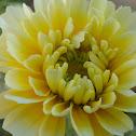 Corn Marigold or Corn Daisy