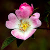 Common Dog Rose