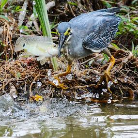 Striated Heron (Butorides striatus) by BoonHong Chan - Animals Birds ( bird, striated heron, park, parks, heron, birds )