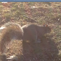 Gray or Grey Squirrel