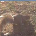 Gray or Grey Squirrel