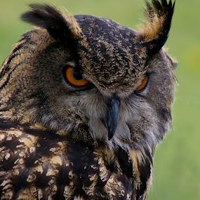 Owl by Peggy LaFlesh - Animals Birds ( bird, animals, owl,  )