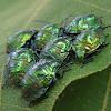 Shield bugs nymphs