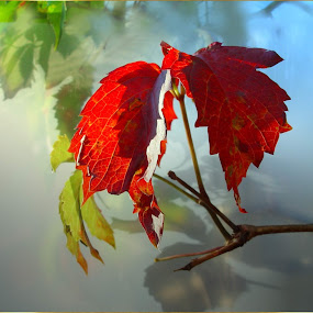 Ivy in Red . . . by Ilona Stefan - Nature Up Close Leaves & Grasses (  )