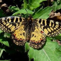 Butterflies and Moths of Croatia