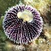 Erizo violáceo
