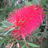 Crimson Bottlebrush