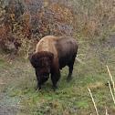 American Bison (bull)