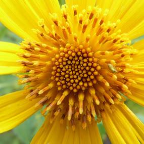 Sunflower by Vaibhav Shende - Flowers Single Flower ( golden flower, flower in the wild, sunflower, sunflower close up, flower,  )