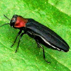 Red-necked Cane Borer